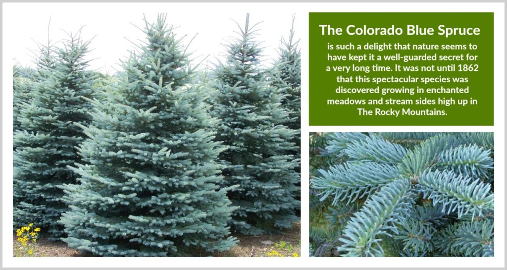 Fraser Fir Christmas Tree Care